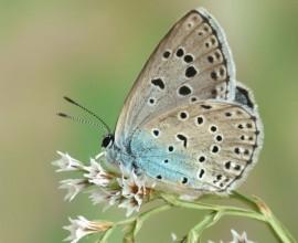 Farfalle italiane a rischio di estinzione