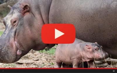 Nasce il baby ippopotamo