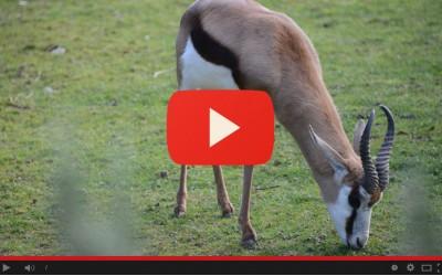 Nuovo arrivo: antilopi springbok