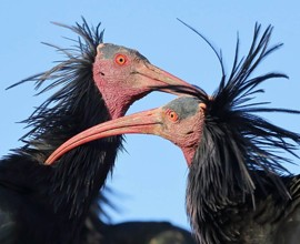 Migrazione autunnale ibis eremita