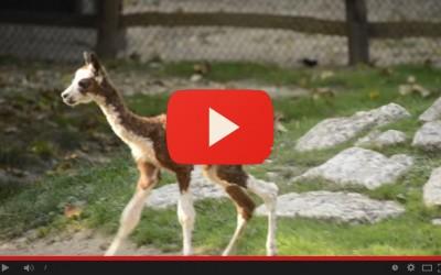 Nasce un'alpachina in diretta: dal parto a quando si alza in piedi