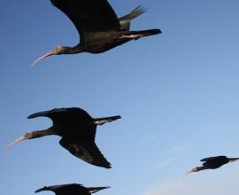 L'ibis Eremita vola su Nature