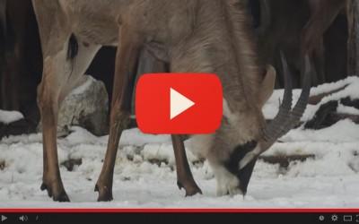L'Africa sotto la neve: gli insospettabili che scelgono il freddo