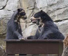 Luis e Bahia, unici orsi andini d'Italia