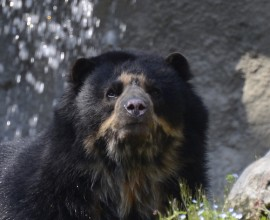 Spectacled Bear Project