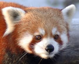 Domenica 24: Red Panda Day