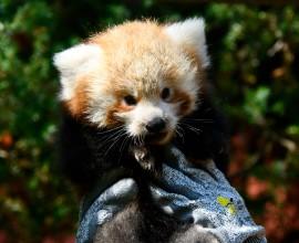 Nati tre panda rossi al Parco