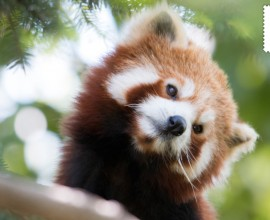 La conservazione del panda rosso non si ferma
