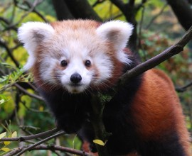 Red Panda Project