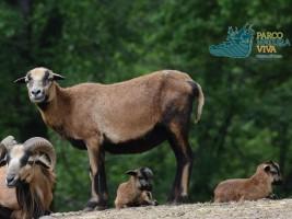 Pecore del Camerun