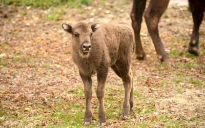 Penelope, la bisontina d'autunno