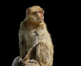 Barbary Macaque Project