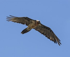 Bearded Vulture Project