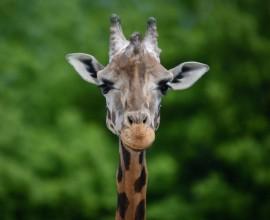 Progetto Giraffa