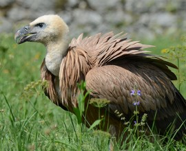 Griffon Vulture Project