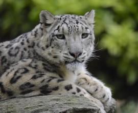 Progetto Leopardo delle Nevi