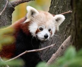Red Panda Project