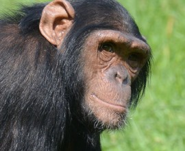 Chimpanzee Project