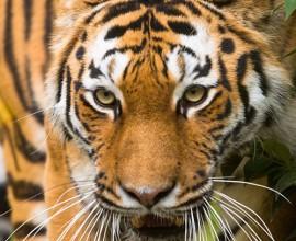 Progetto Tigre