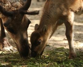 Nato un piccolo di renna
