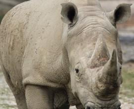 2006 save the rhino campagna rinoceronti