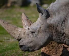Rinoceronti e bracconaggio: gli effetti del Covid-19