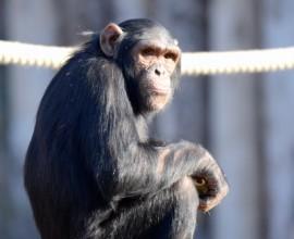 2011 - 2012 Scimmie antropomorfe