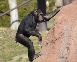Scimpanzé: a rischio l'evoluzione culturale