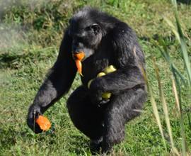 Scimpanzé: il