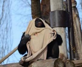 Freddo, stoffe agli scimpanzé