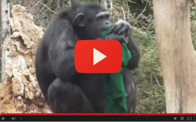 Freddo, stoffe e maglie agli scimpanzé