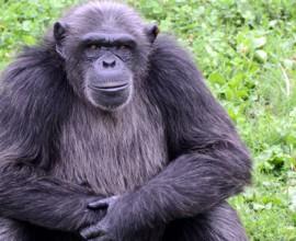 Keeper per un giorno: scimpanzé