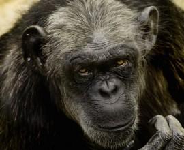 Chimpanzee Project