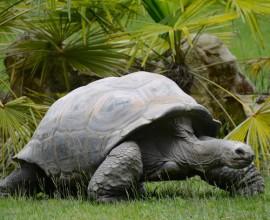 Seychellen-Riesenschildkröten