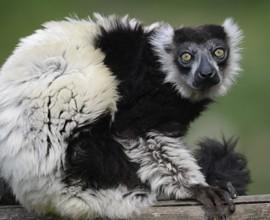 Silver, il terzo lemure più anziano d'Europa