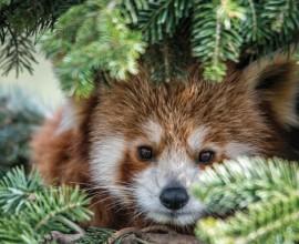 Red Panda Day 2018