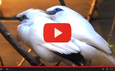 Arrivano in Italia Giulietta e Romeo, uccelli canori