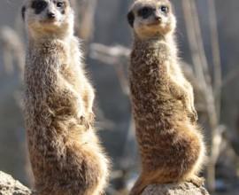 Conosciamo i suricati