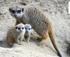 Raddoppia la colonia di suricati