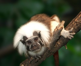 Cotton-top Tamarin Project
