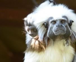 Tamarino edipo, la scimmia papà