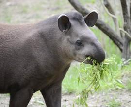 La giornata mondiale del tapiro