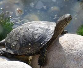 Weekend della scienza al PNV -  Inseguendo tartarughe e testuggini