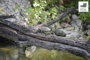 Tartaruga dalle guance rosse
