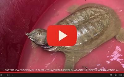 Tartaruga guscio molle affidata al Parco Natura Viva dai Carabinieri Forestali nucleo CITES