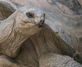 La testuggine gigante delle Seychelles