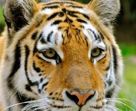 2003 2004 tigre