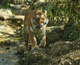 Giornata Mondiale della Tigre