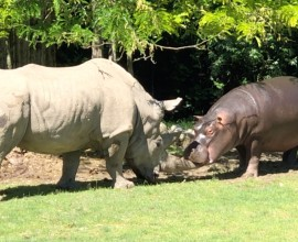 Il giovane ippopotamo e il saggio rinoceronte giocano insieme