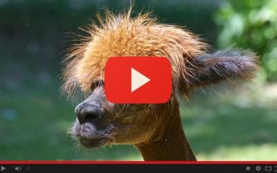 Shearing of alpacas